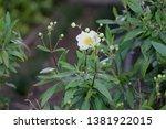Bush anemone  carpenteria...