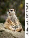 Funny Suricate Sitting On Rock...