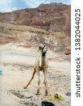 one humped arabian camel in... | Shutterstock . vector #1382044025