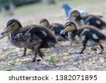Cute Little Ducks Make A Family ...