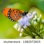 The Tawny Coster  Acraea...