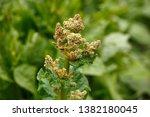 Rhubarb Flower. Blooms Of...