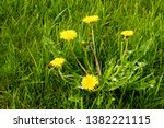 Small photo of A dandilion growing in a residential lawn. Dandilions are usually considered noxious weeds and great effort and money is spent to eradicate them.
