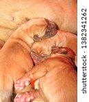 Newborns Dogue De Bordeaux....