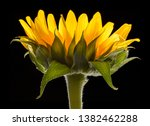 Sunflower Close Up Black - Fine Art prints