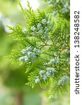 Closeup of young Cupressaceae branch in the spring - stock photo