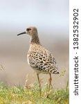 ruff bird  philomachus pugnax ...   Shutterstock . vector #1382532902