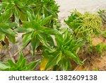 heliotropium foertherianum on...   Shutterstock . vector #1382609138