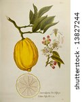 Lemon tree. Reproduction of vintage botanical book - stock photo