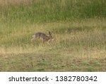 Stock photo wild hare running on a field 1382780342