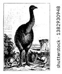 Moa were nine species of flightless birds endemic to New Zealand, vintage line drawing or engraving illustration.