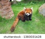 Cute Red Panda Or Lesser Panda  ...
