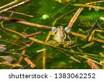marsh frog  pelophylax...   Shutterstock . vector #1383062252