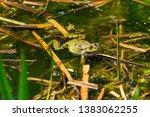 marsh frog  pelophylax...   Shutterstock . vector #1383062255