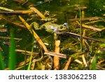 marsh frog  pelophylax...   Shutterstock . vector #1383062258