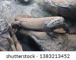 Young Komodo Dragon  Varanus...