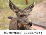 A Curious Mule Deer In The...