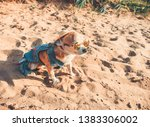 chihuahua wearing sunglasses...   Shutterstock . vector #1383306002