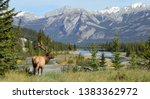 Elk in Jasper National Park, Alberta, Canada - stock photo