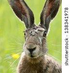 Stock photo european hare lepus europaeus 138341978