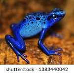 Poisonous Dart Blue Frog With...