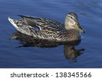 Portrait of a female duck on the water - stock photo