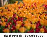 Tulip Field  Volcji Potok ...