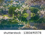 cherry blossoms blooming on the ... | Shutterstock . vector #1383690578