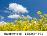 rape blossoms and clouds ... | Shutterstock . vector #1383694592
