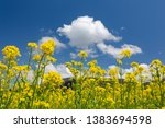 rape blossoms and clouds ... | Shutterstock . vector #1383694598