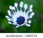 a blue flower  osteospermum...   Shutterstock . vector #1383714