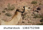 camels or dromedary in the... | Shutterstock . vector #1383752588
