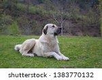 Kangal Shepherd Dog Sitting On...