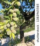 Almond ripening on an almond...