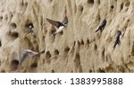 Colony Of Swallows  Sand Martin ...