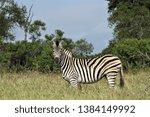 a zebra in a grass savannah in... | Shutterstock . vector #1384149992