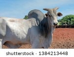 Closeup Of Zebu Bull Of The...