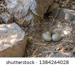 Small photo of Unwise nesting site for this herring gull, Larus argentatus, bird nest. Next to busy path. With eggs.