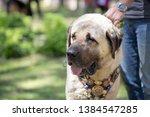 Herd Shepherd Dog In Turkey