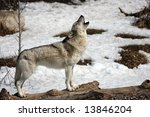 Lone Wolf Howling In Winter.