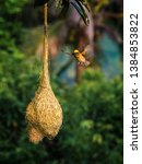 The Beautiful Baya Weaver's...