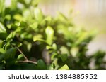 nature view   green leaf in... | Shutterstock . vector #1384885952