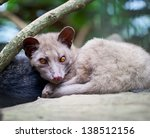 asian palm civet   the animal... | Shutterstock . vector #138512156