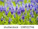 Grape Hyacinth In Spring Season