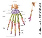 Bones Of The Human Hand With...