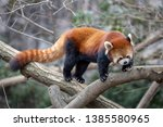 The Panda Red Or Lesser Panda