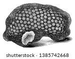 astraea rotulosa usually form... | Shutterstock .eps vector #1385742668