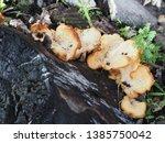 Jamur Pohon  Tree Fungus  Close ...