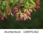 Winged Maple Seeds   Acer...