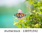 Black Veined Tiger Butterfly ...